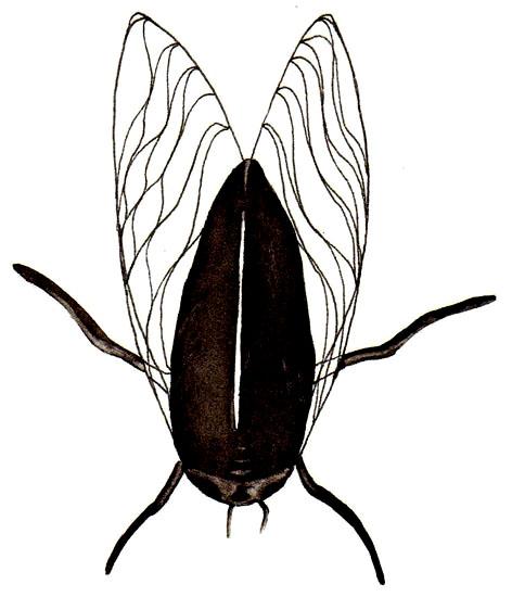 Cicala, disegno di Davide Racca