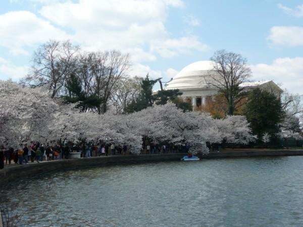 Cherry blossom sul Potomac (fotografia di Francesca Andreini)